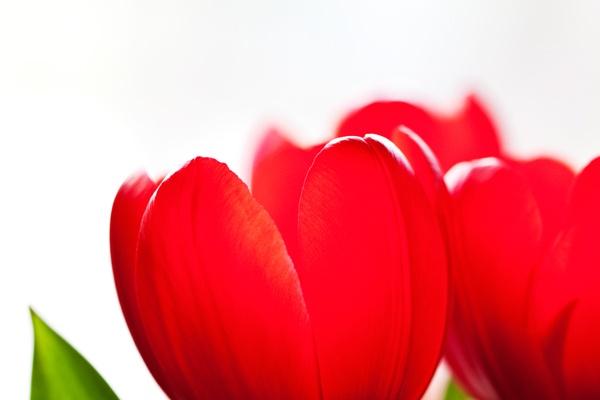 Garden, Tulips, Red, Katrine Anita H. Heggelund