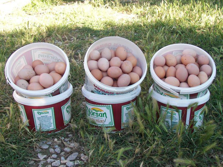 Mucur yumurta tavukçuluğu / Ahmet Taşkıran