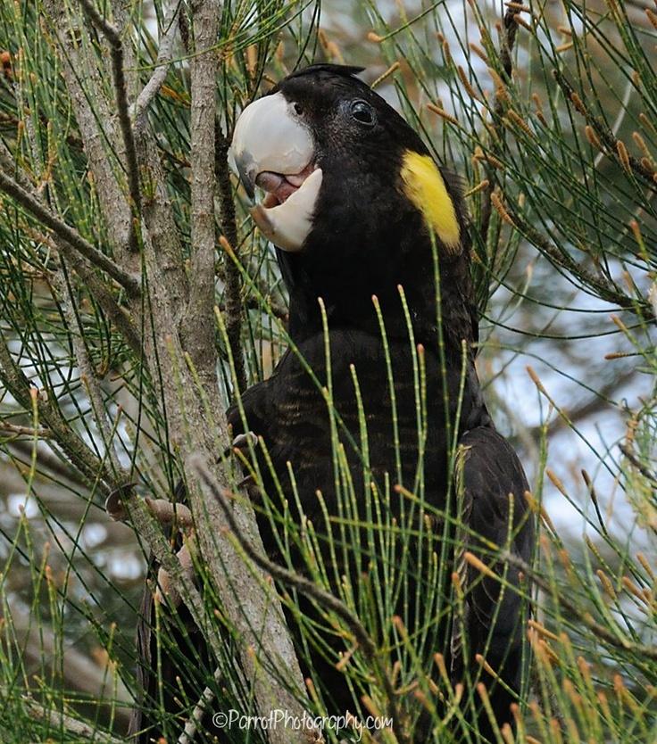<3 Yellow-tailed Black Cockatoo in Casuarina tree
