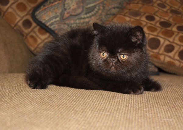 black-exotic-shorthair-catpurfurvid | Black Cats | Pinterest
