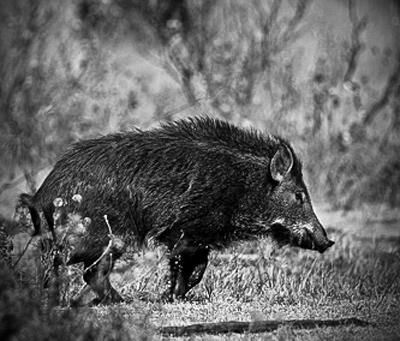 Hog Hunting Tips: How to Hunt Wild Pigs at Night