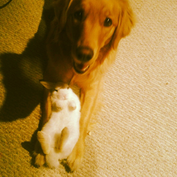 Golden retriever and bunny