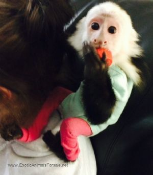 this is a capuchin monkey for sale
