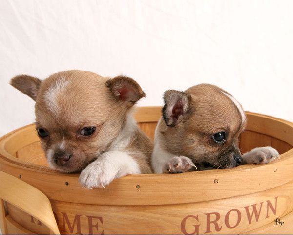 chihuahua puppies | chihuahua à poil court