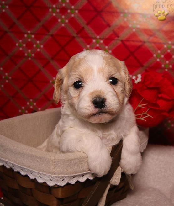 Cavapoo Cavapoopuppies Charming Puppiesofpinterest