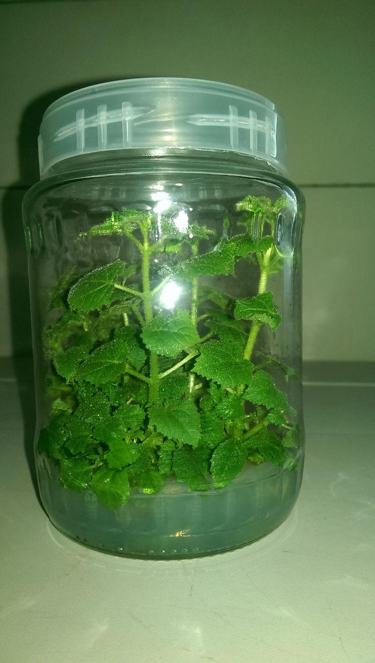Paulownia in vitro ready for rooting