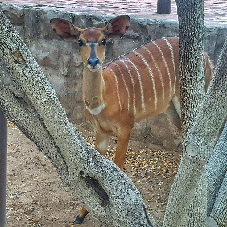 Curious female nyala, South Africa.