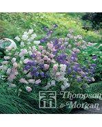 """Marieklokke """"Canterbury bells"""" mixede farver  Campanula medium  En favorit i landbohaven, nem og problemfri at dyrke. Blomsterne, der udvikles tidligt på sommeren i en pyramideformet klase med store klokker . Arten har blåviolette blomster; men der findes både lyserøde og hvide varieteter. Alle varianter findes i disse frø. Blomstrer året efter såning og er nem at omplante selv når den er i blomst."""