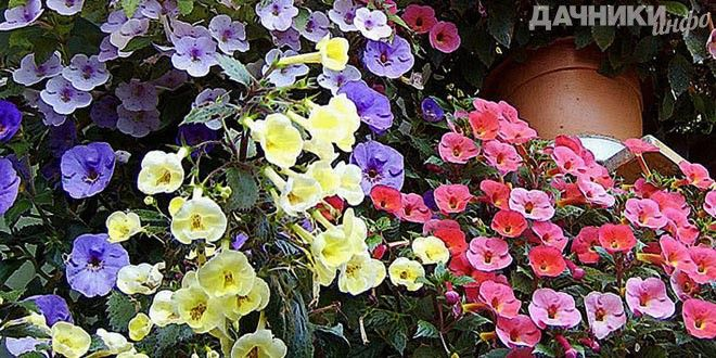 Ахименес - волшебный цветок - Подробности: http://dachniki.info/aximenes-volshebnyj-cvetok-3251.html