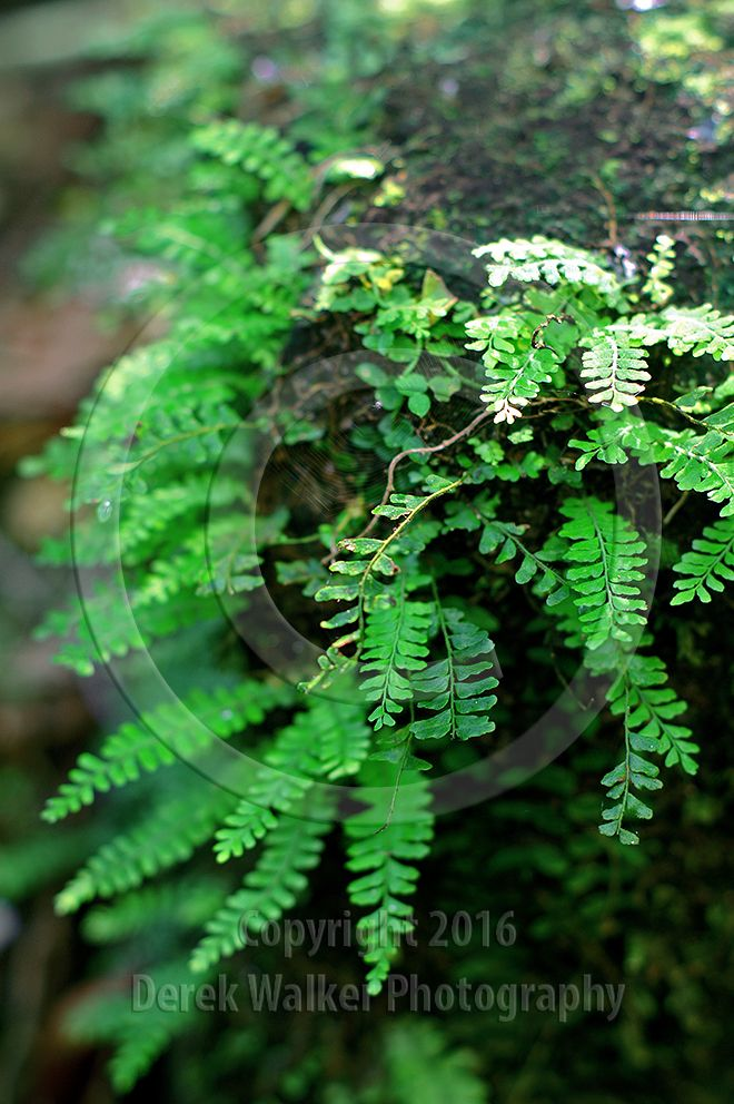 Small ferns growing on rocks inside the Kondalilla National Park near Montville on the Blackall Range in south east Queensland, Australia. The National Park is most famous for the spectacular Kondalilla Falls amid lush rainforest (the word Kondalilla is Aboriginal for 'running water'), and is a popular retreat for visitors to the Sunshine Coast hinterland. For image licensing enquiries, please feel welcome to contact me at derekwalker73@bigpond.com Cheers :)