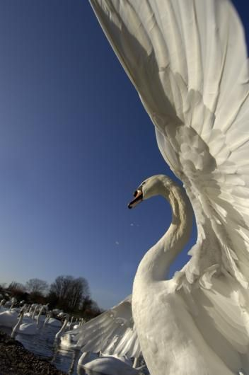 A mute swan stretches its wings in the warm sun - © Malcolm Schuyl