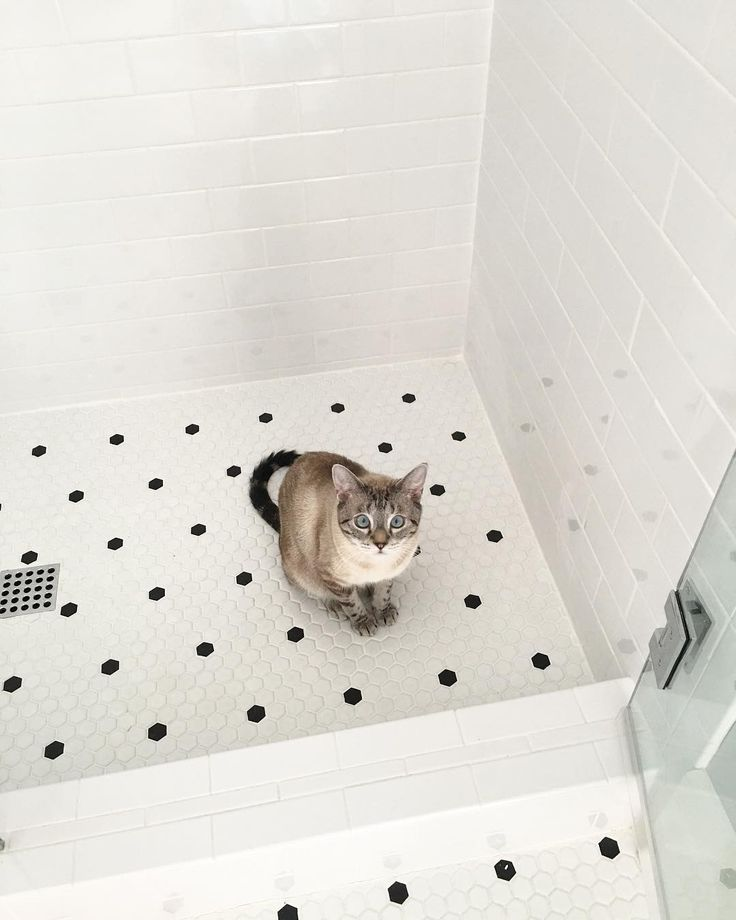 Black and white oyster tiles ➕ one crazy kitty  he is weirdly obsessed with the sound of the frameless shower door opening and closing. It's so random but entertaining haha. Either way frameless shower doors are amazing if anyone is considering them they are worth the extra money! #farmhouse #farmhousestyle #modernfarmhouse #bathroom #tile #bathroomdesign #shower #subwaytile #whitetiles #blackandwhite #showerdoors #whitefarmhouse #lynxpointsiamese #siamese #siamesecat #blueeyes