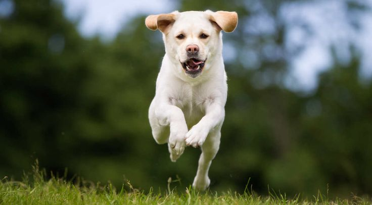 Dog Whistles: We'll look at what a dog whistle can do for you and your Labrador, which are the best dog whistles, and how to train your dog to the whistle.