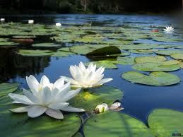 Image result for water lilies