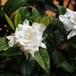 Primarily found outdoors in the south and grown for their fragrant flowers and handsome foliage, gardenias are popular ornamental shrubs, which are known for their finicky needs. This article will help with their care.
