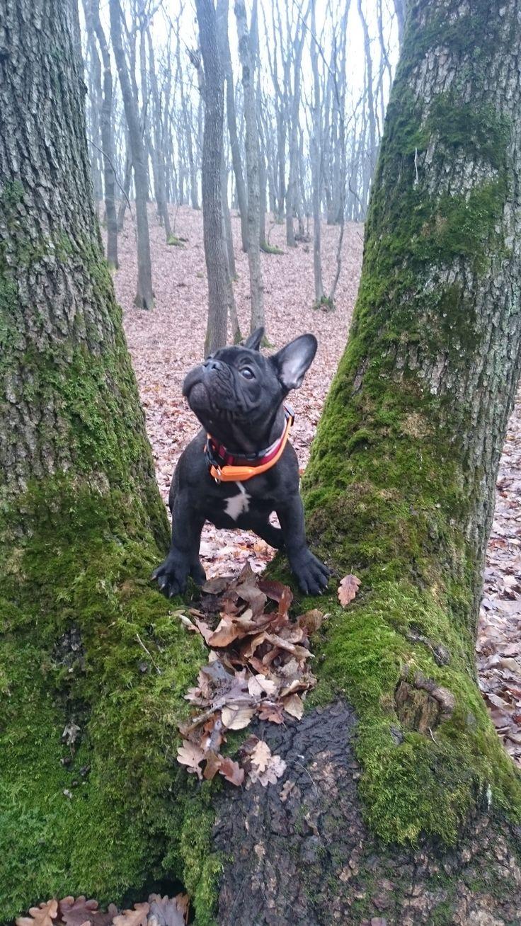 """""""Squirrel"""", French Bulldog Puppy"""