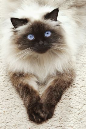 Himalayan cat - what a beauty, Oh wow does this look like our Yoda, but Yoda has such rich Chocolate browns.  Can we say Gorgeous!  :-)