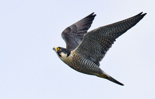 17 Best images about Falcons and Hawks on Pinterest ...