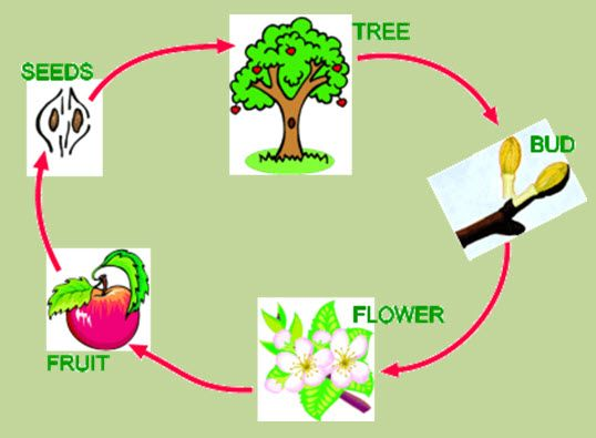 Tree Life Cycle on Plant Life Cycle Games Online