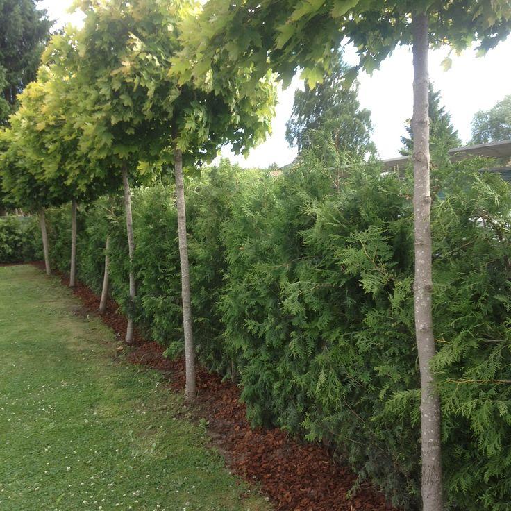 30 best garden elements hedge images on pinterest natural privacy fences hedges and garden. Black Bedroom Furniture Sets. Home Design Ideas