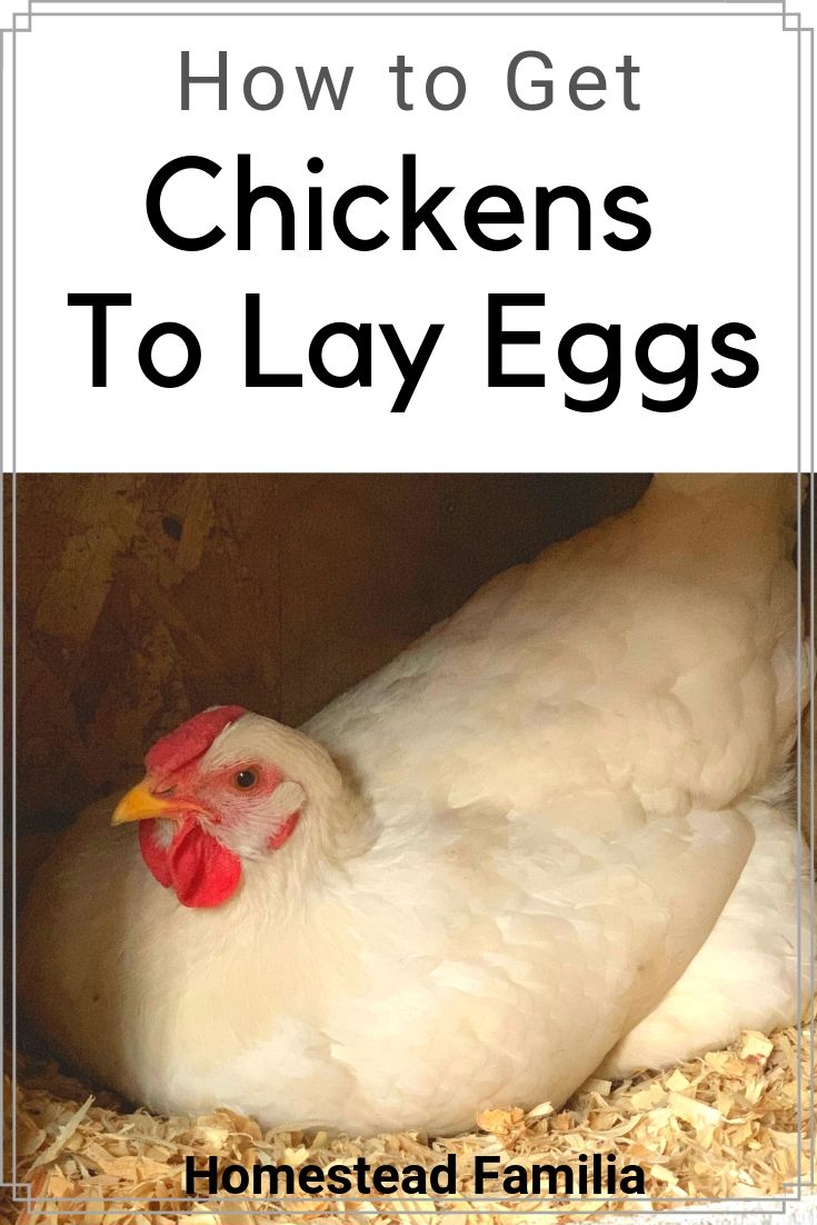 When Do Chickens Start Laying Eggs | Chickens backyard ...
