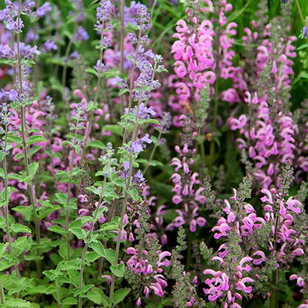 Buy salvia Salvia pratensis 'Pink Delight': Delivery by Crocus