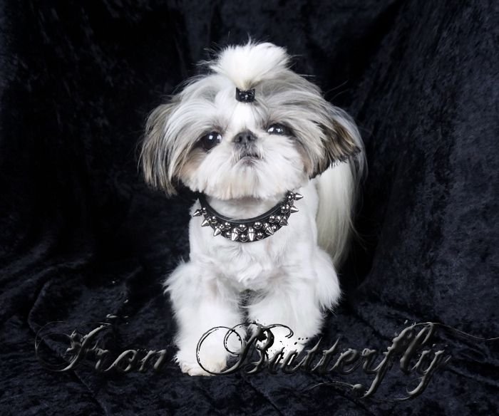 Iron Butterfly Chinese Imperial Shih Tzu Tiny Teacup Puppies For Sale Quality Small Breeder Imperial Shih Tzu Teacup Puppies Shih Tzu