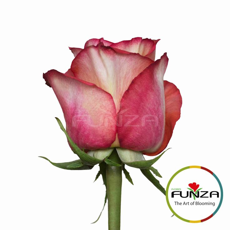 Bicolor Orange Rose from Flores Funza. Variety: High and  Orange Magic, Availability: Year-round
