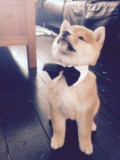 Shiba Inu puppy getting a ready for a big day! Doge, Shiba