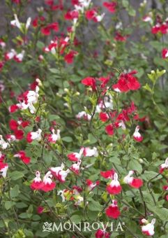 Salvia Microphylla Hot Lips White And Red Flowers On A Semi Shrub