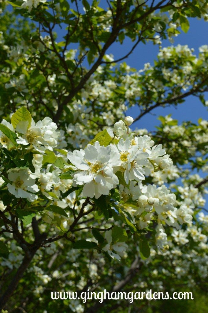 Springtime In The Gardens White Flowering Trees Blooming Trees