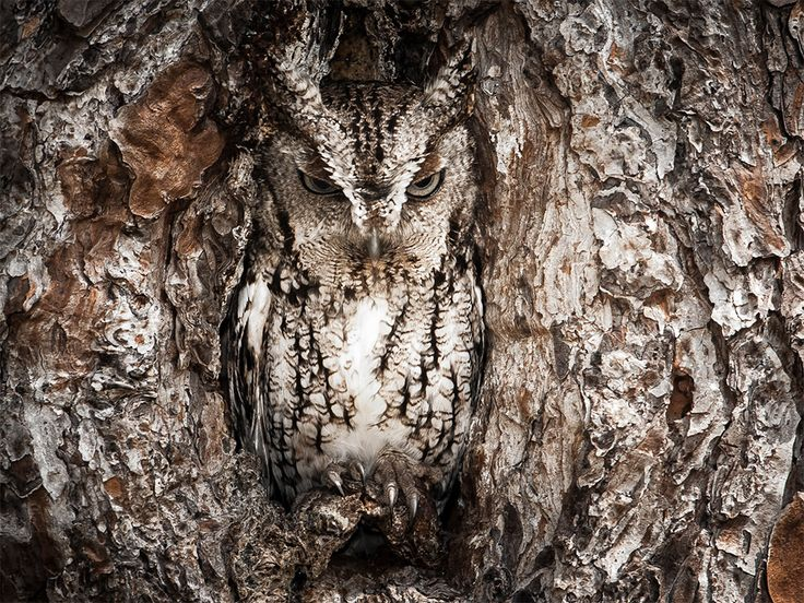 Smithsonian Magazine Announces 11th Annual Photo Contest Finalists-Graham McGeorge (Jacksonville, Florida). Finalist: Natural World. McGeorge spent a quiet 6 hours trying to get the perfect image of this eastern screech owl out of its nest. Okefenokee Swamp, Georgia, April 2013.