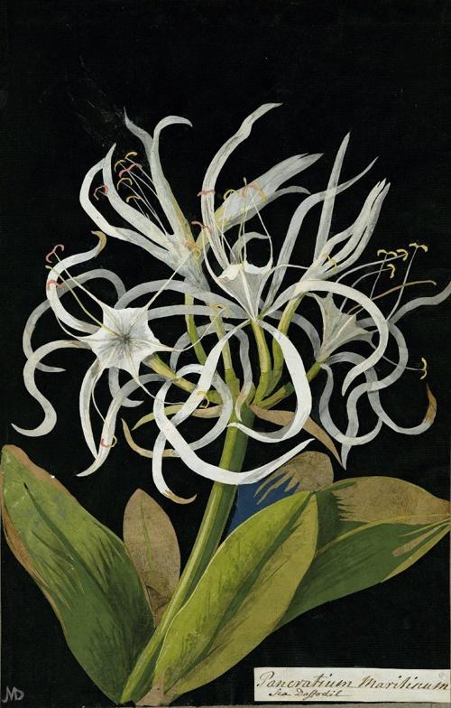 Mary Delany, Pancratium Maritinum, Sea Daffodil, 1778
