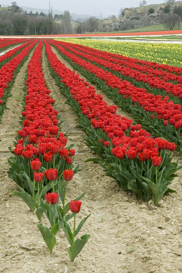 Bright Red Tulip field in Provence France