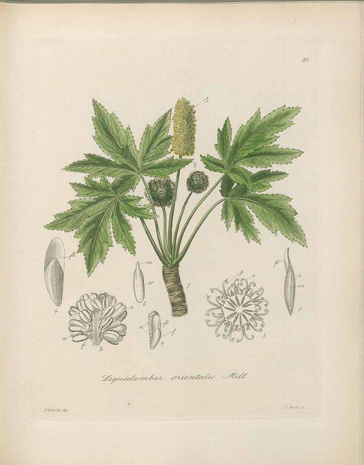 蘇合香  styrax,  Liquidambar orientalis Miller,  マンサク科  Kohl, Die officinellen Pflanzen der Pharmacopoea Germanica, t. 91 (1891-1895)