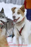 One of Trent Herbst's dogs at the Iditarod. Happy dogs!