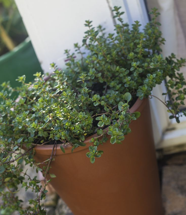 Pizza thyme - Pizza thyme is a must-have for homegrown fast food. It has a Mediterranean flavour, similar to oregano. An easy perennial herb, it likes it hot and dry once established.
