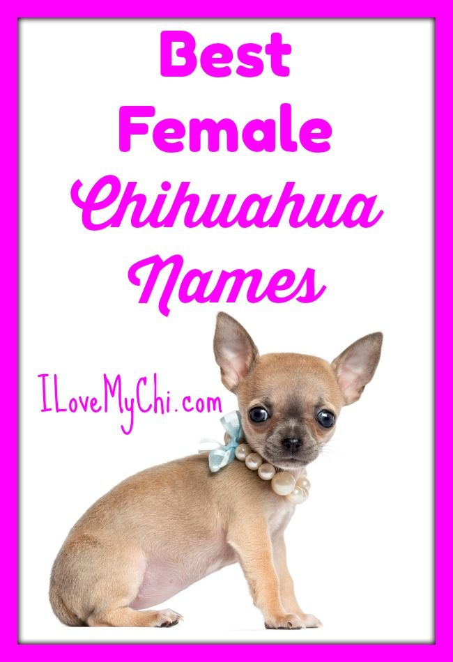 Best Female Chihuahua Names Chihuahua Names Dog Names Girl Dog