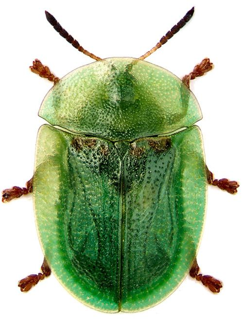 I saw one of these once.  It is a tortoise beetle.