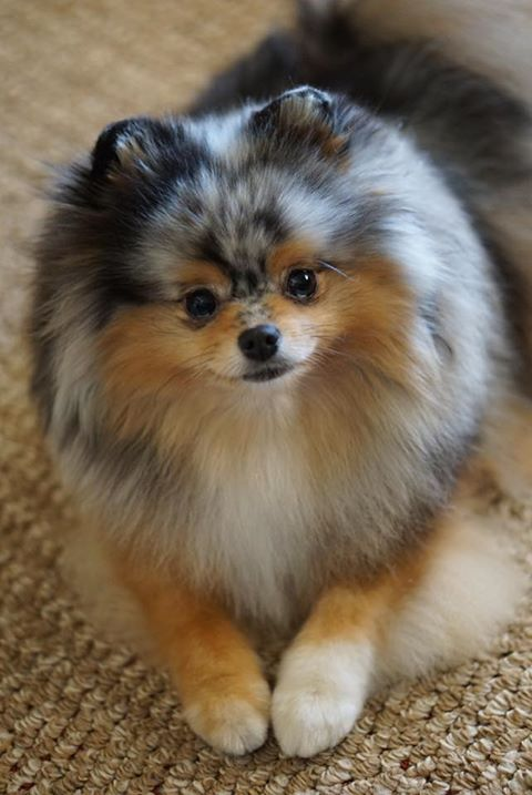 I will be looking for one like this in January 2018. My pom is getting old, and I want her to train a new one.  I am east coast Florida.       ADBanyan@cfl.rr.com All leads appreciated.
