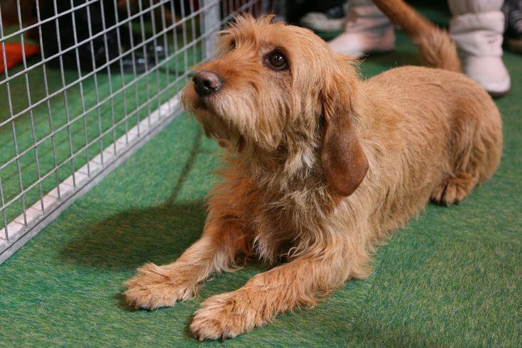 Basset Fauve de Bretagne Dog Breeds Pictures. NoahsDogs.com