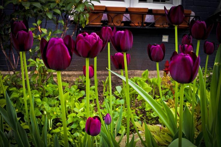 Tulipes d'un printemps