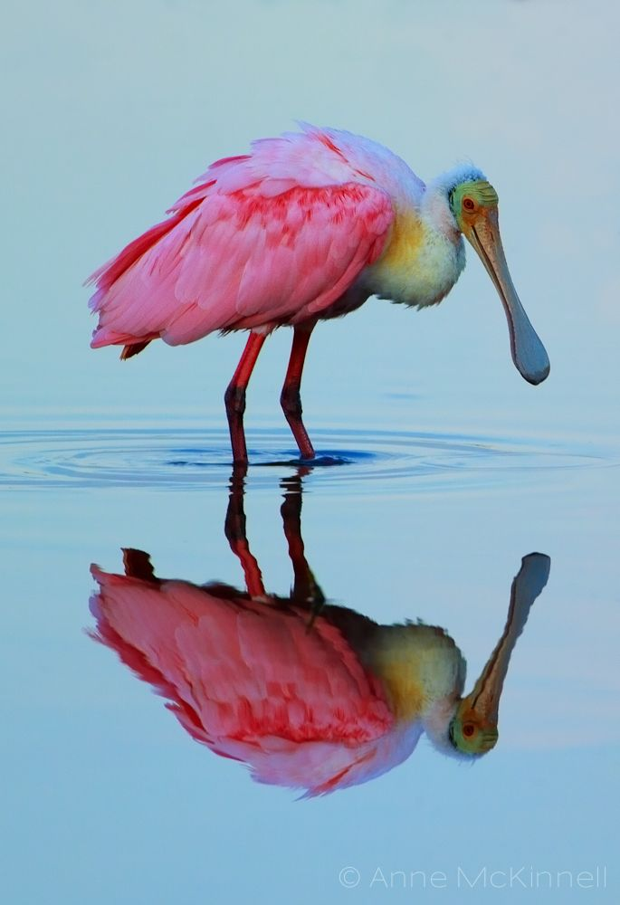 Roseate Spoonbill Reflection