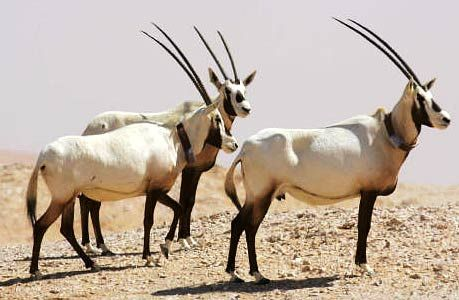 Oryx - Powerful Desert Antelope