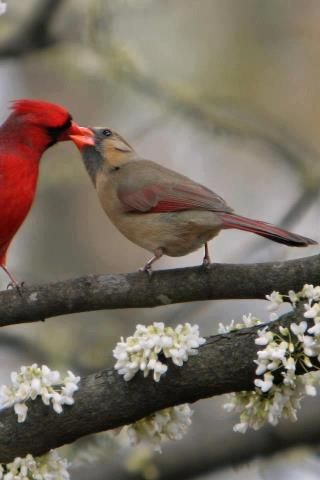 Cardinals...I see this in my backyard...the male brings seeds to the female and feeds her!