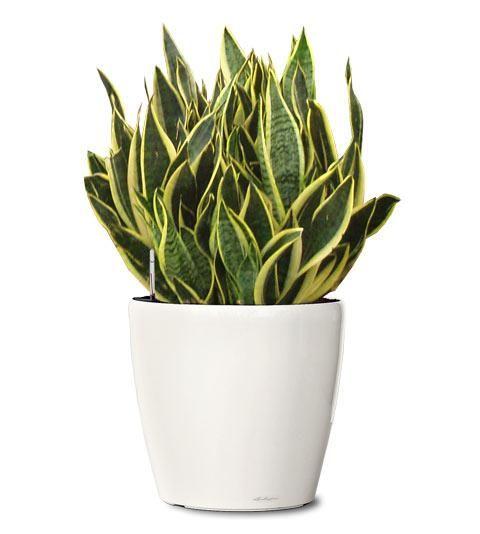 Espada de São Jorge: por causa de suas folhas pontudas é facilmente associada ao poder de cortar as energias negativas, a inveja, olho-gordo, magia, etc. Alguns dizem que espanta os maus espíritos. Ao cortar as energias negativas, a erva atrai coragem e prosperidade. Ajuda a absorver gases tóxicos em geral, limpa do ar o benzeno, metanal (formol), tricloroetileno, xileno e tolueno. E produz oxigênio durante a noite.