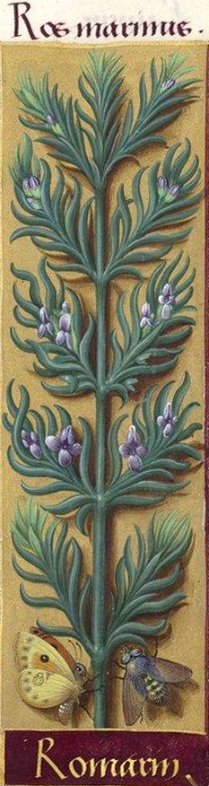 Romarin - Ros marinus (Rosmarinus officinalis L. = romarin en fleurs) -- Grandes Heures d'Anne de Bretagne, BNF, Ms Latin 9474, 1503-1508, f°149r