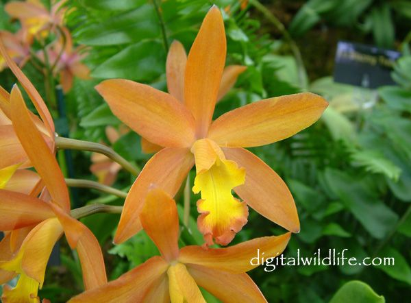 Lc. Magic Bell 'Peach Parfait'Pictures Orchids Photography, Orchids Pictures, Orchids Orchids