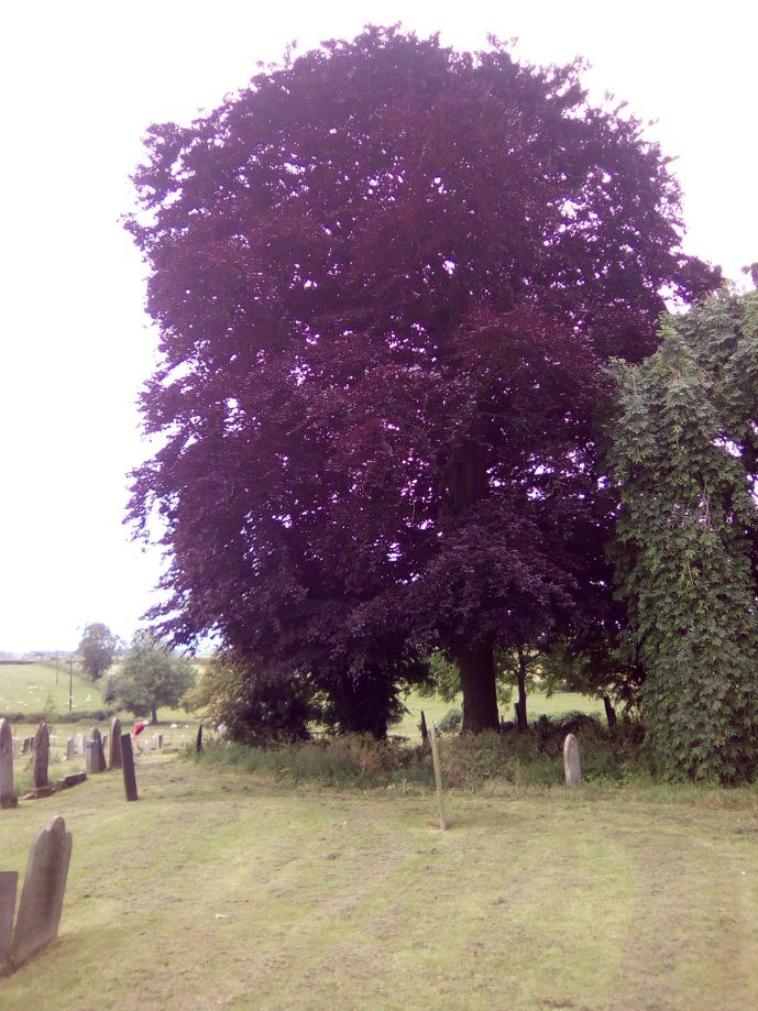 Copper Beech, Houghton on the Hill.  Planted by my Gt Grandad