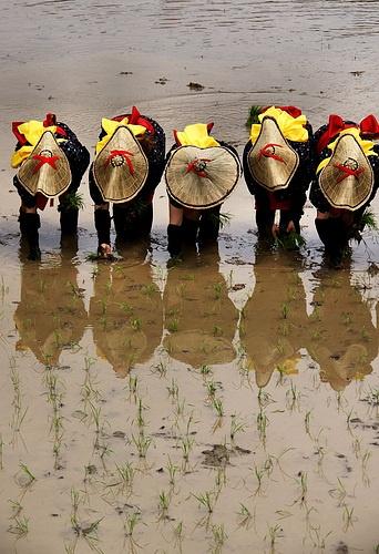田植え Japanese rice planting